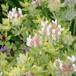 ロータス・ヒルスツス 'ブリムストーン' Lotus hirsutus 'Brimstone'