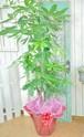 I0042) 観葉植物 パキラ