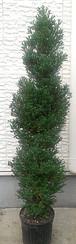 ヌマヒノキ【レッドスター(パープルフェザー)】樹高約120cm