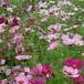 産直花の苗 コスモス Cosmos bipinnatus 'Sensation'