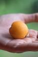 【6月販売予定】1.5キロセット【無農薬・無肥料】福岡県糸島市のビワ