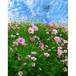 沖縄に咲く花・05・コスモス