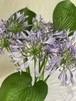 アガパンサスの切り花(生花)20本 +ギボウシ6本