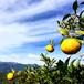 星空の柚子【加工用】2㎏