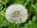 写真素材(花-4026046/タンポポ)