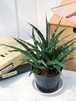 観葉植物 サンスベリア ファンウッド 3号ポット Sansevieria 'Fernwood' PG200113