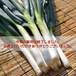 【今季の販売は終了しました】南部太ねぎ 2kgバラ詰め- 希少な青森南部町の伝統野菜☆数量限定