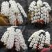 胡蝶蘭の鉢植 5~7本立 50,000円