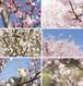 梅と桜のポストカード2015(6枚セット)