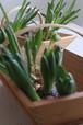 <2/9,10配達日限定>球根付き花とフラワーベースのセット