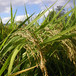ササニシキ玄米5キロ(平成29年産自然栽培米)