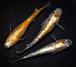 *伊香保FF BASE限定* 紅灯 (2021年産まれ)稚魚 10匹 ikahoff U-0404-8547-c