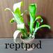 ビルベルギア【billbergia】レプトポダ
