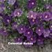 ニーレンベルギア Nierembergia caerulea