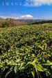 茶畑と大山