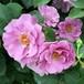 バラ大苗 紫の園(むらさきのその) 6Lポット植え
