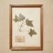 植物標本 フレーム 1929 vintage 18MAR-VSH15