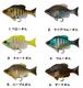 Fish Arrow フィンズギル150