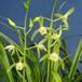 斑入り秋蘭素心10.5cmポット苗