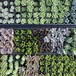 多肉植物カット苗5芽セット