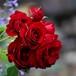 【最新品種】バラ大苗 ローズ・ブルイィ 6Lポット植え