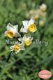 いつもの公園で咲く水仙~Daffodils that bloom in the usual park~①
