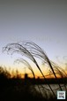 ススキ越しの夕日~Pampas grass over sunset~①