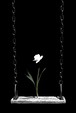 a narcissus 2016