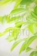 写真(新緑の葉)