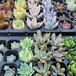 多肉植物カット苗 10種set