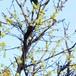 ロウバイ・黄色10.5cmポット苗