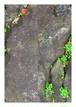 柳川たみ『岩の割れ目の植物』2