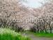 写真素材(桜-4026036)