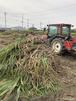 デジタルコンテンツ 竹糖収穫①