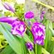 濃色紫蘭三舌花10.5cmポット