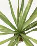 ユッカ カルネロサーナ Yucca carnerosana 20170923