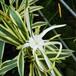 斑入りヒメノカリス12cmポット苗