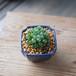 オブツーサ+昭和の鉢