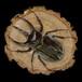 【原画】輪切り絵アート:コーカサスオオカブト (Caucasus Beetle)