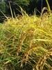 有機棚田米コシヒカリ 玄米 10㎏