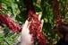 台湾キヌア 紅藜