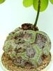 ボンバックス エリプティクム Bombax ellipticum 5