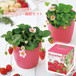 ピンクの花咲く ストロベリー栽培セット