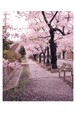 桜の森 夜の森 ポストカード (1枚:道)