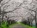 写真素材(桜-4026024)