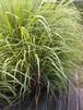 レモングラス 茎13cm 5本