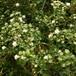 八重咲き白鳥木10.5cmポット