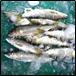 釣り鮎(鮮魚)1kg
