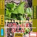 【天然山菜】【天然ぼうな/250g】自然の恵み 限定予約販売 青森県白神山麓便 【送料無料】