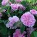 ロサ シナモメア プレナ Rosa cinnamomea plena